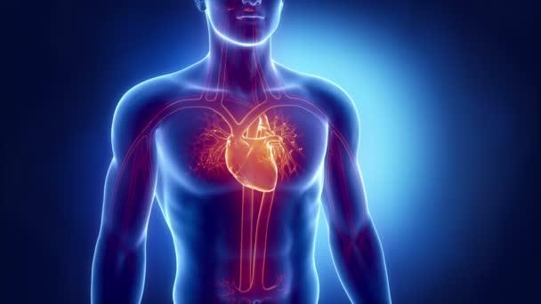 Radiografía del corazón humano Mira en bucle — Vídeo de stock
