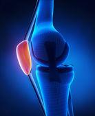 Knee patella anatomy — Stock Photo