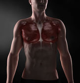 Pectoralis major anatomy — Stock Photo