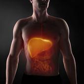 Focused on man digestive system — Stock Photo