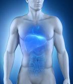 Anatomia człowieka wątroby — Zdjęcie stockowe