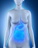 Female digestive organs anatomy — Stock Photo