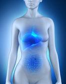 女性の肝臓の解剖学 — ストック写真