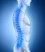 男性の脊椎の解剖学の側面図 — ストック写真