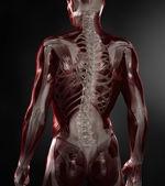 目に見える筋肉と骨格の裸の男 — ストック写真