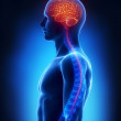 Spinal cord and brain anatomy — Stock Photo