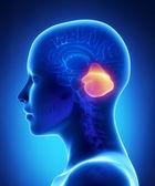 Beyincik - kadın beyni anatomi lateral görünüm — Stok fotoğraf