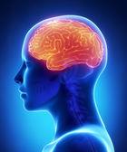 Cerebrum - female brain anatomy lateral view — Stock Photo