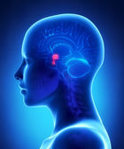 Pituitary gland - female brain anatomy lateral view — Stock Photo