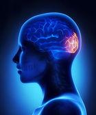 Occipital lobe - female brain anatomy lateral view — Stock Photo