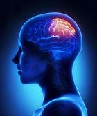 Parietal lobe - female brain anatomy lateral view — Stock Photo