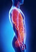 Man organen anatomie laterale x-ray weergave — Stockfoto