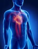 Circulatory system male anatomy anterior x-ray view — Stock Photo