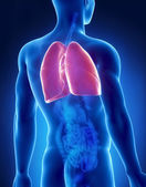 Lungs male anatomy posterior x-ray view — Stock Photo