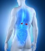 Male adrenal anatomy posterior view — Stock Photo