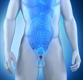 Anatomia da próstata masculina — Fotografia Stock