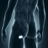 Male testes anatomy posterior view — Stock Photo