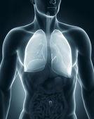 Man respiratory system anatomy anterior view — Stock Photo