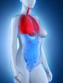 Woman respiratory system anatomy — Stock Photo