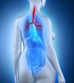 Woman bronchial tree anatomy — Stock Photo