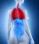 Woman respiratory system — Stock Photo