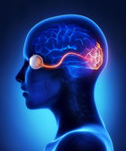 Eye and visual cortex nerves — Stock Photo
