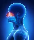 Nasal cavity — Stock Photo