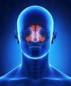 Sinus anatomy — Stock Photo