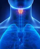 Larynx x-ray anatomy blue — Stock Photo