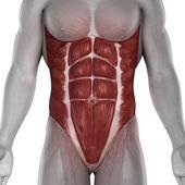 Male abdomen muscles anatomy isolated — Stock Photo