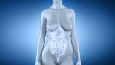 Anatomía femenina colon — Vídeo de Stock