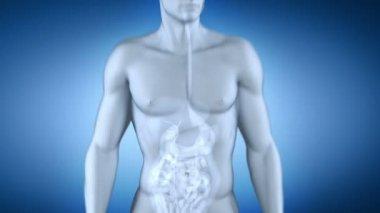 Male spleen anatomy x-ray — Stock Video