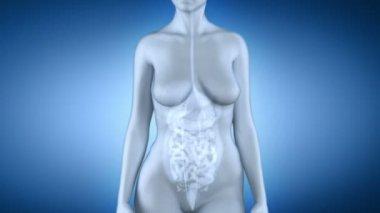 Anatomía hepática femenina — Vídeo de Stock