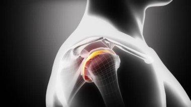 Shoulder cartilage anatomy — Stock Video