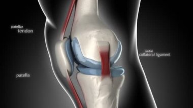 Knee anatomy — Stock Video
