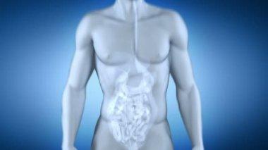 Male colon anatomy - digestive system — Stock Video