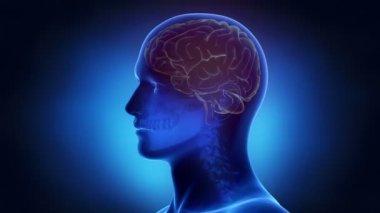 Man brain anatomy — Stock Video