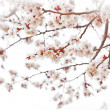 Постер, плакат: Cherry blossoms