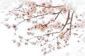 вишнёвый цвет — Стоковое фото