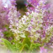 Stock Photo: Clary sage, Salvisclarea