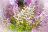 Clary sage, Salvia sclarea — Stock Photo