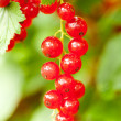 Red currants in the garden — Stock Photo #15446807
