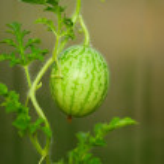 Small watermelon — Stock Photo