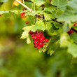 Red currants in the garden — Stock Photo #15446887
