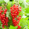 Red currants in the garden — Stock Photo #15447345