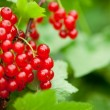 Red currants in the garden — Stock Photo #15447353
