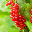 Red currants in the garden — Stock Photo #15447405