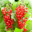 Red currants in the garden — Stock Photo #15447529
