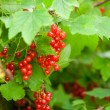Red currants in the garden — Stock Photo #15447659