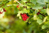 Red currants in the garden — Стоковое фото